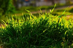 Uncut grass in park in summer evening backlit royalty free stock images