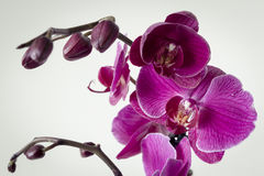 Uncut Orchid Bloom Stock Image
