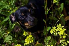 Und der kleine schwarze Hund in den Blumen Lizenzfreies Stockfoto