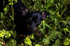 Und der kleine schwarze Hund in den Blumen Stockfotos