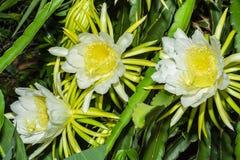 Undatus hylocereus цветка плода дракона стоковая фотография rf