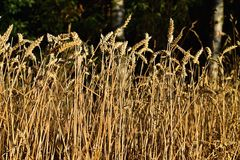 Undeaded wheat ear in the forest. The sun is shining on grain Royalty Free Stock Image