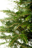Undecorated christmas tree bunches Stock Image