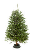 Undecorated Christmas Tree Royalty Free Stock Photography