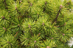 Undecorated fir twigs Royalty Free Stock Photo