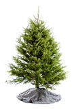 Undecorated real Christmas tree Royalty Free Stock Photography