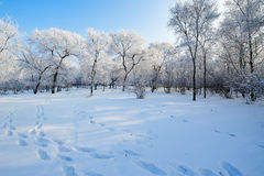 The undefiled fairy tale world in the winter. The photo was taken in forest park  Daqing city Heilongjiang province,China Royalty Free Stock Photo