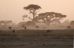 Under the Acacia trees. Landscape in Amboseli National reserve, Kenya, at sunset Royalty Free Stock Photo