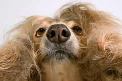 Under the afghan. This is a view from underneath an afghan hound Royalty Free Stock Image