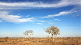 Kruger scrubland, trees and summer skies. Under African skies. The scrubland of Kruger National Park following a severe drought. South Africa stock photography