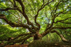 Under Angel Oak Tree. The point of view when you standing underneath the large canopy of Angel Oak Tree Stock Images