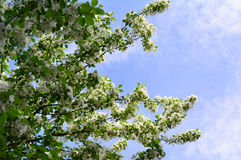 Blue sky with apple tree branches  Stock Image