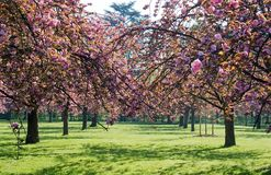 Under an arc of pink cherry trees Royalty Free Stock Image