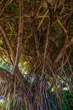 Under banyanträdet Arkivbild
