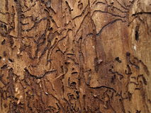 Under the bark Royalty Free Stock Photography