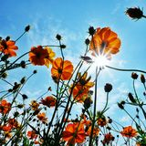 Cosmos flowers fields sky sunlight Royalty Free Stock Photo