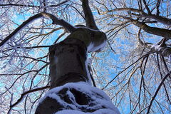 Under the beech. View of the sky through snowy branches of the beech stock image