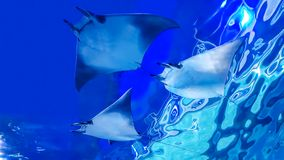 Under the belly of the stingray. Demonstrate the belly  and natural underwater Stock Photos