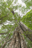 Under big green tree of a giant rainforest tree Royalty Free Stock Photo