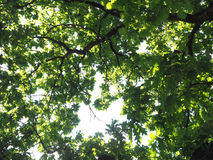 Under big oak green tree. Nature forest wood sunlight background. Royalty Free Stock Images