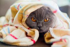 Under Blanket. Little grey british cat lying under blanket Royalty Free Stock Images