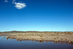 Under the blue sky is a drink of sheep Stock Photo