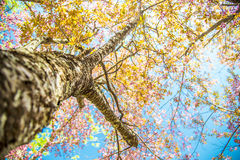 Under branch of pink cherry tree Stock Photo