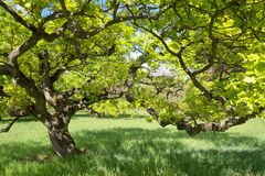 Under the branches of the oak tree in spring. Under the branches of the oak tree with young bright green leaves in spring Stock Photo