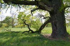Under the branches of the old oak tree in spring Royalty Free Stock Image