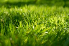 Under the bright sun. Abstract natural backgrounds. Fresh green spring grass on the lawn with the selective focus blurred bokeh Royalty Free Stock Image