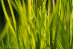 Under the bright sun. Abstract natural backgrounds. Fresh green spring grass on the lawn with the selective focus blurred bokeh Royalty Free Stock Images
