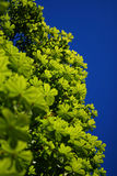 Under Budding Chestnut Tree. Under high chestnut treetop with budding leaves royalty free stock image