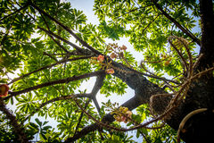 Under Cannonball Tree flowers (Couroupita guianensis) Royalty Free Stock Photos