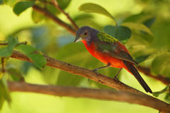Under the Canopy (Painted Bunting) Stock Photography