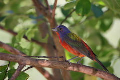 Under the Canopy (Painted Bunting) stock image