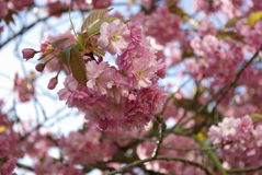 Under a cherry blossom tree in Lund royalty free stock photo