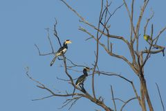 Two Malabar Pied Hornbills royalty free stock images