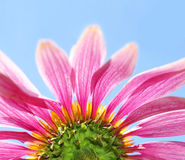 Under a coneflower and sky Stock Photography