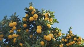 Under the crown of an juicy orange tree against a cloudless sky. Under the crown of an orange tree against a cloudless sky stock video footage