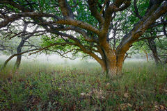 Under crown of large single lonely tree in a nature reserve against  background of fog. Royalty Free Stock Image