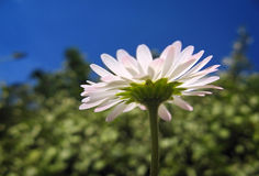 Under a daisy Stock Photo