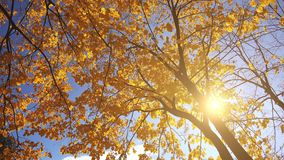 Under the deciduous autumn treetop stock footage