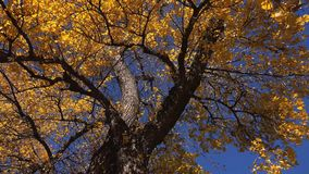 Under the deciduous autumn treetop stock video footage