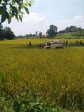 Under den upptagna höstskördsäsongen bär bönder ris för skördearbetare mot efterkrav i risfält; royaltyfria foton