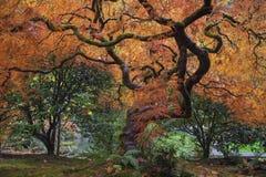 Under det gamla trädet för japansk lönn i nedgångsäsong Arkivbild