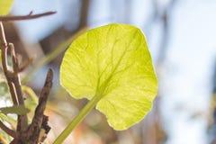 Under det gröna bladet av calthapalustrisblomman Royaltyfria Bilder