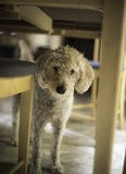 """Under the Dining Table. """"Fancy meeting you here, under the dining table Stock Photo"""