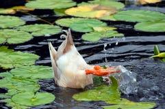 under ducka yttersida Arkivfoton