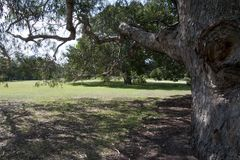 Under en jungfrus eukalyptusträd som ser över gräsmattan royaltyfri foto
