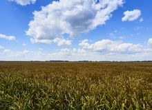 Under the endless blue sky, lies the same boundless field of wheat. Under the endless blue sky, along which cumulus clouds float, lies the same boundless field royalty free stock photo
